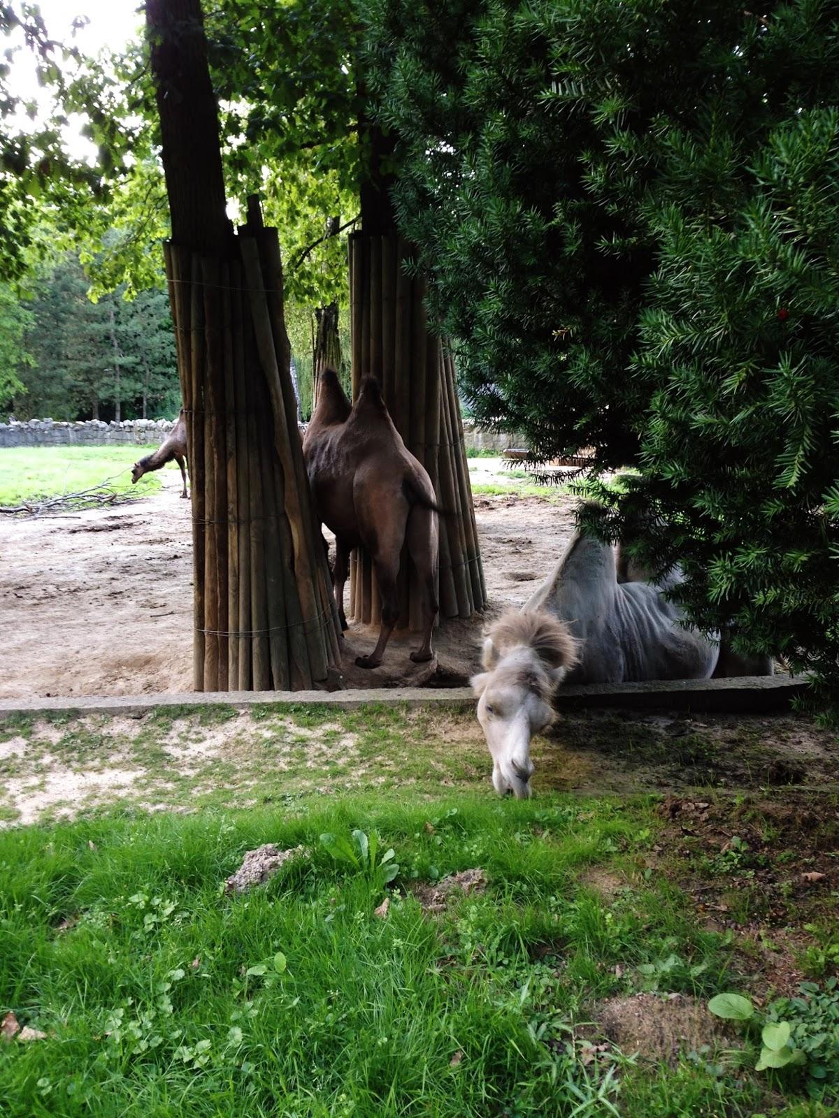 wielbłądy na żywo