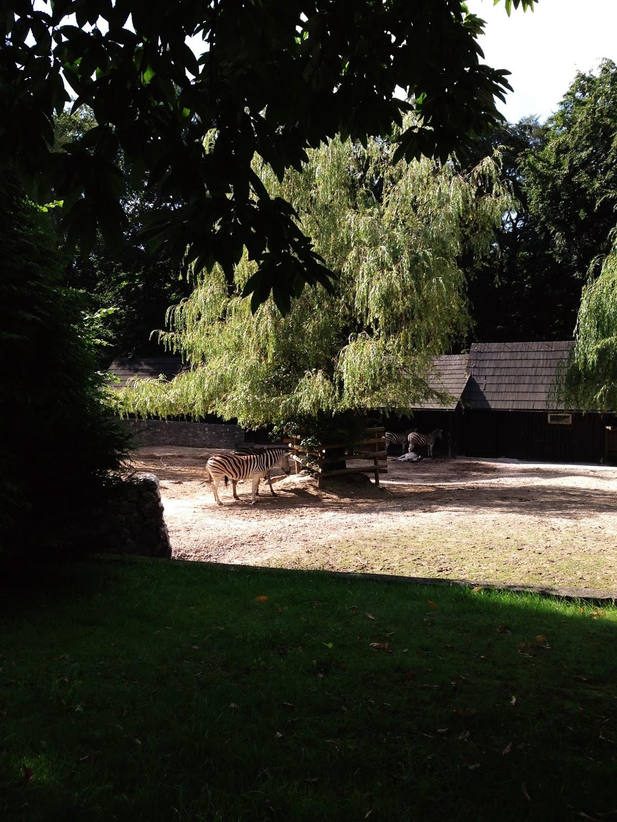 zebra w zoo